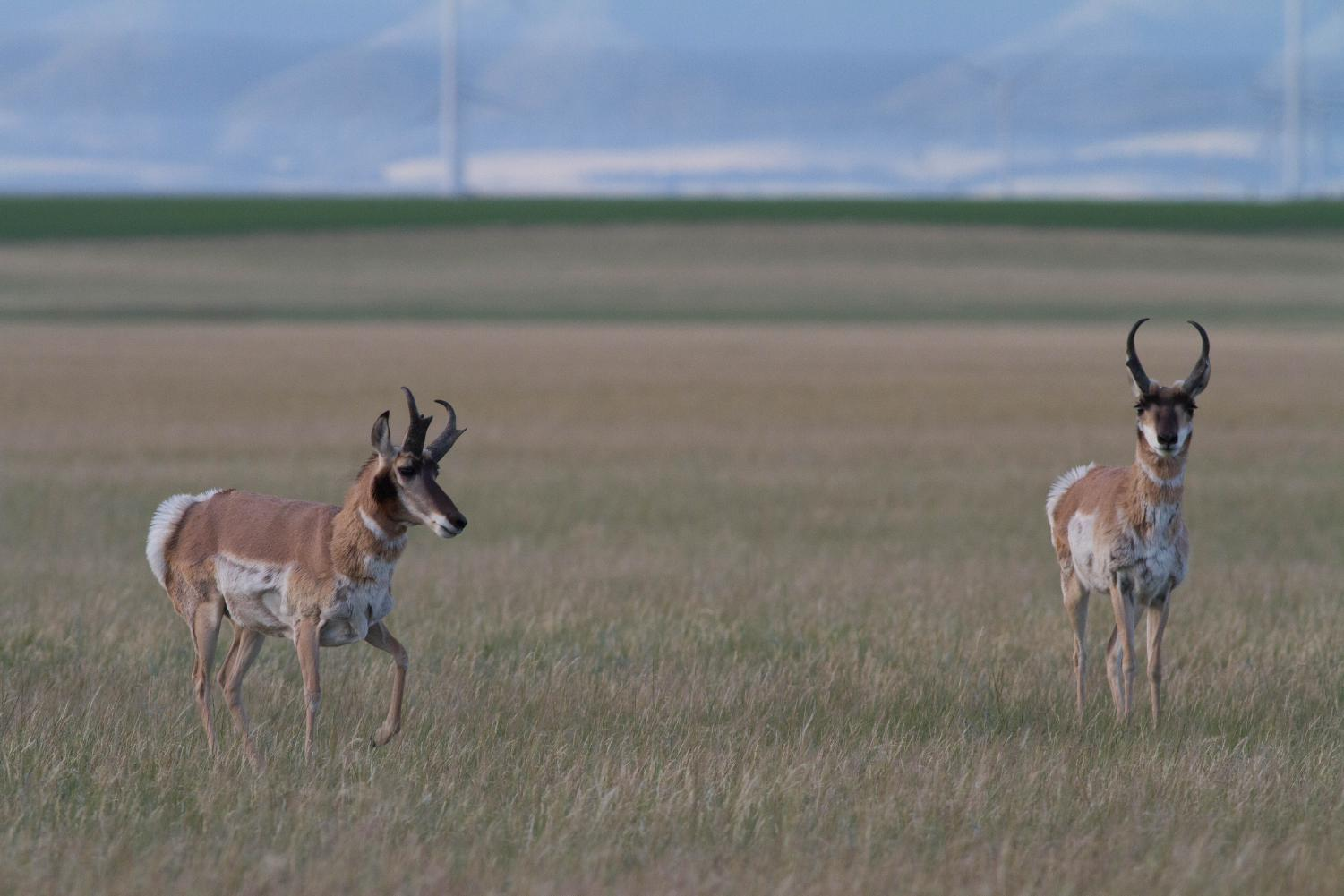 Pronghorn are very common throughout the prairie, but are threatened by the rise of barbed wire fences on ranches.  Pronghorn evolved alongside the now-extinct North American Cheetah, and evolved to run extremely fast rather than jump very high.  These two males were foraging in the prairies in Wheatland co., MT on 23 June 2017.