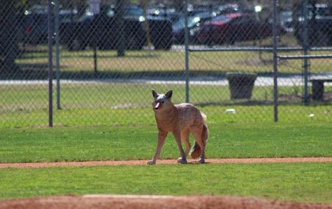Fake Coyotes Roam Wando in an Effort to Scare Off Geese