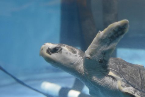 The turtle hospital at the South Carolina Aquarium in Charleston focuses on nurturing injured turtles to health in order to release them back into the wild